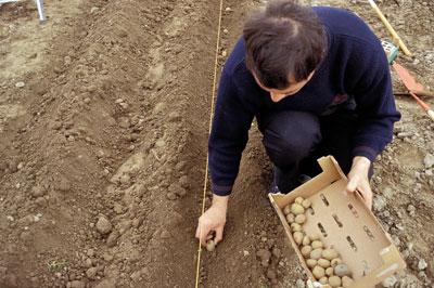 Le midi libre magazine planter les pommes de terre - Planter des patates ...