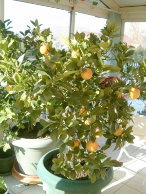 le midi libre magazine cultiver un citronnier en pot. Black Bedroom Furniture Sets. Home Design Ideas